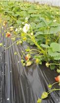 重庆草莓成长记