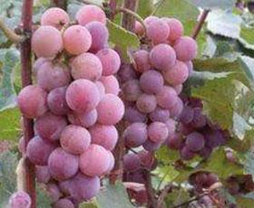 雨水红葡萄采摘