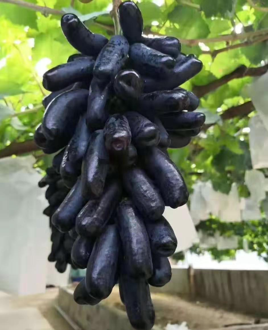 浪漫蓝宝石葡萄采摘