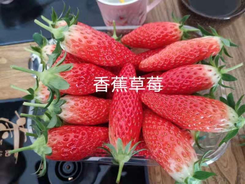 重庆香蕉草莓采摘