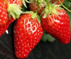 北碚女峰草莓采摘