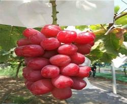 浪漫红颜葡萄