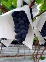 蓝莓葡萄采摘