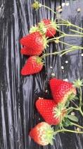 香野草莓采摘
