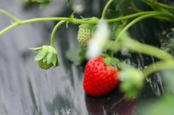 重庆草莓采摘